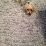 Tinley-Park-Dog-carpet-clean